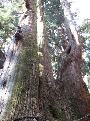 多賀大社「三本杉」