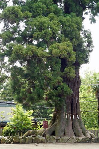 筑波山の大杉