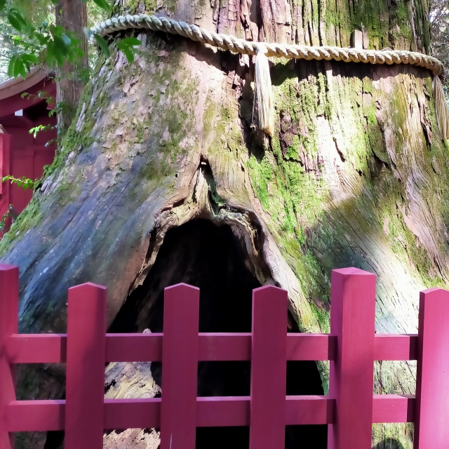 箱根神社 安産杉