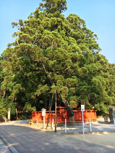 香椎宮ご神木の綾杉